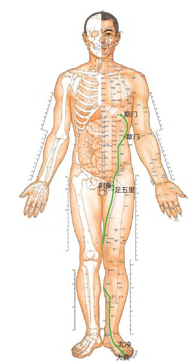 肝经位置图