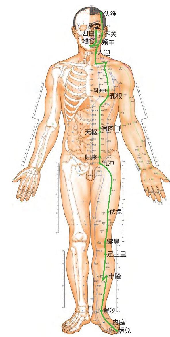 胃经位置图