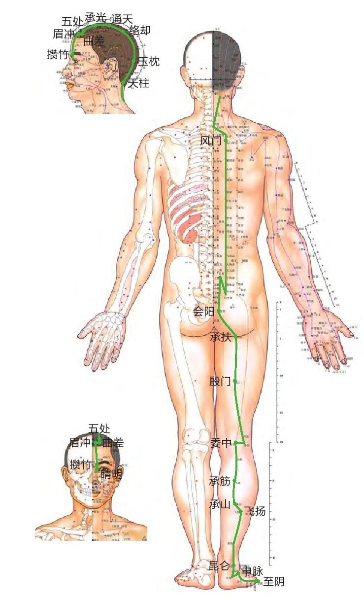 膀胱经位置图