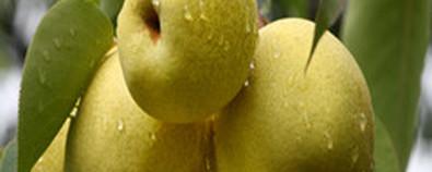 秋季孩子咳嗽有痰,请不要吃梨!