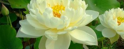 莲花与莲蓬的功效