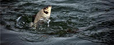 鲫鱼的功效与作用及鲫鱼不能和什么一起...