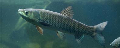 草鱼的功效与作用及禁忌-食用方法-怎...