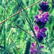 珍珠露水草