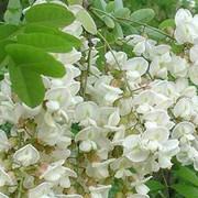 白花灰毛槐树