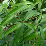 锯叶竹节树