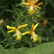 黄花铁线莲