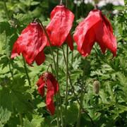 红花绿绒蒿