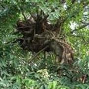 黄桷树根疙瘩