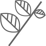 白花铁线莲