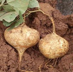 洋葱的功效与副作用_土瓜的功效与作用-禁忌-饮片-图片-食用方法-怎么吃-副作用-乡间 ...
