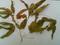鹅掌金星草